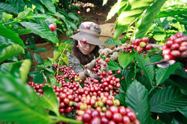 Sản lượng giảm nhưng giá cà phê Việt Nam vẫn chưa thể phục hồi  - Ảnh 2.
