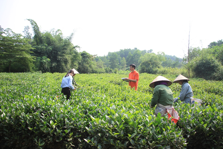 Masan High-Tech Materials hỗ trợ nông dân sản xuất chè theo hướng VietGAP, hữu cơ - Ảnh 2.