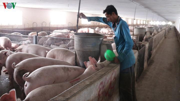 Tiếp tục nhập khẩu lợn để nhân giống, phục vụ tái đàn từ nay đến cuối năm - Ảnh 1.