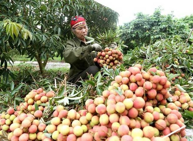 Vải thiều sớm Bắc Giang thu hoạch rộ, tiêu thụ 1.000 tấn mỗi ngày - Ảnh 1.