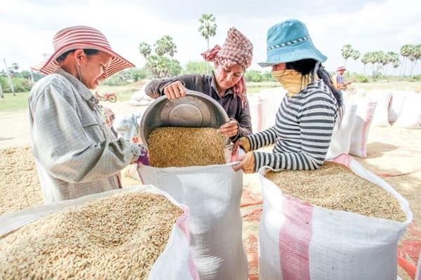 Campuchia xuất khẩu gần 1 triệu tấn thóc sang Việt Nam từ đầu năm - Ảnh 1.