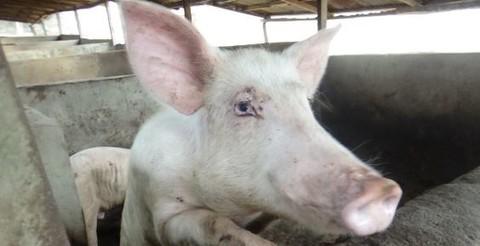 Nigeria tiêu hủy gần 1 triệu con heo vì dịch tả bùng phát - Ảnh 1.