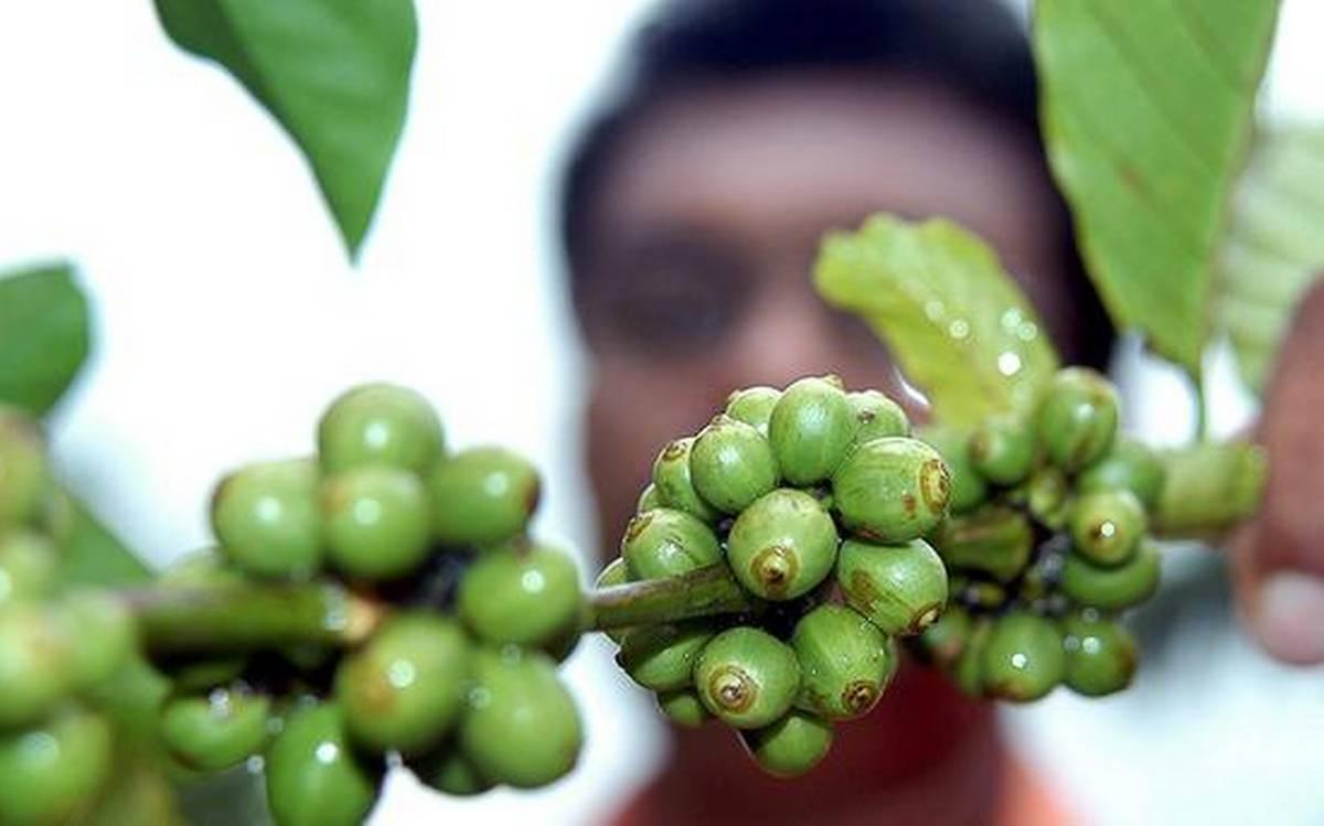 Người trồng cà phê Ấn Độ đối mặt với khủng hoảng mới từ lệnh phong tỏa - Ảnh 1.
