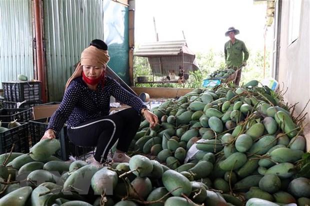 Sơn La xuất khẩu 30 tấn xoài sang thị trường Hoa Kỳ - Ảnh 2.