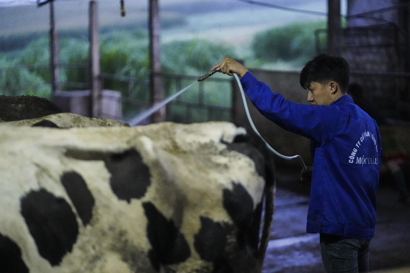 'Tỉ phú' 9X nuôi bò sữa trên cao nguyên Mộc Châu - Ảnh 6.