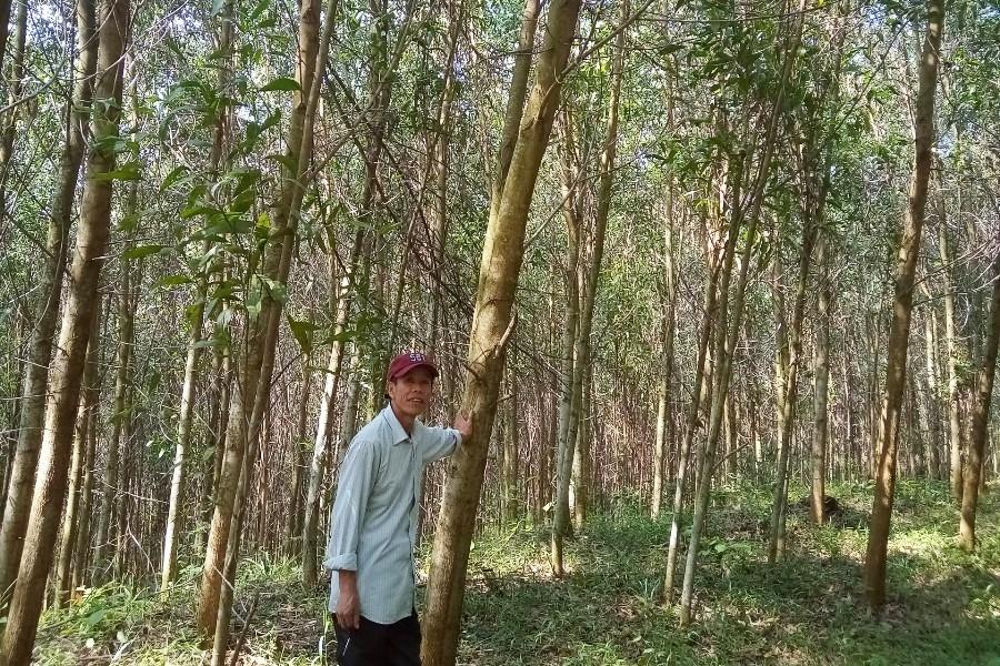 Bài 2: Doanh nghiệp 'chung tay' trồng rừng có chứng chỉ - Ảnh 1.
