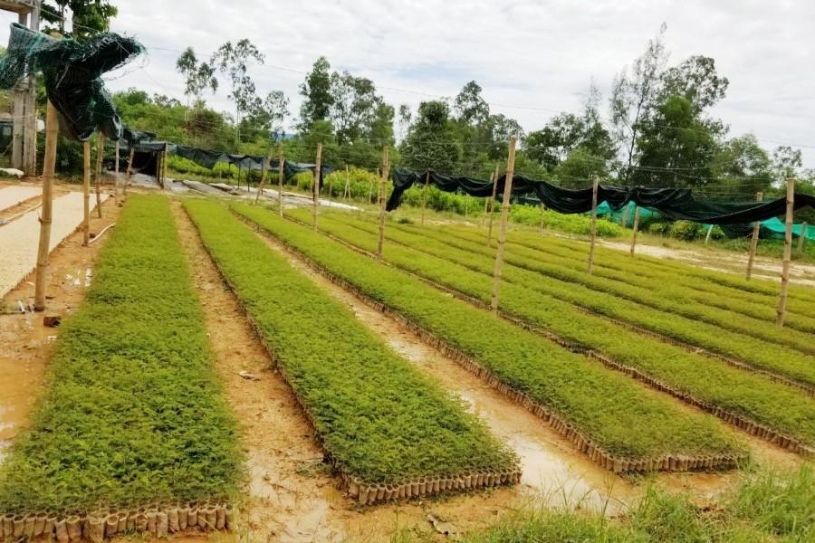 Bài 2: Doanh nghiệp 'chung tay' trồng rừng có chứng chỉ - Ảnh 2.