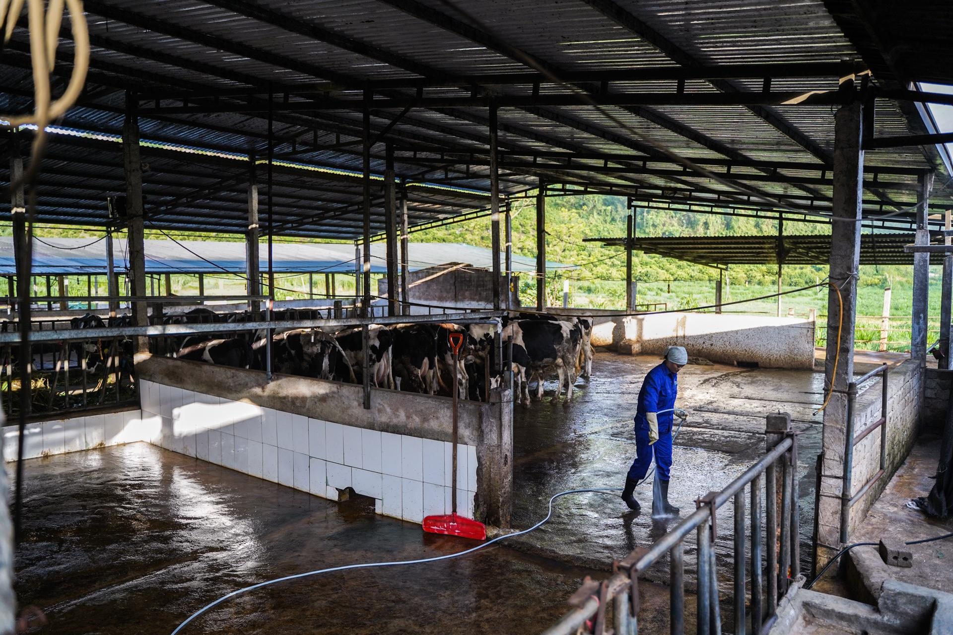 'Tỉ phú' 9X nuôi bò sữa trên cao nguyên Mộc Châu - Ảnh 8.