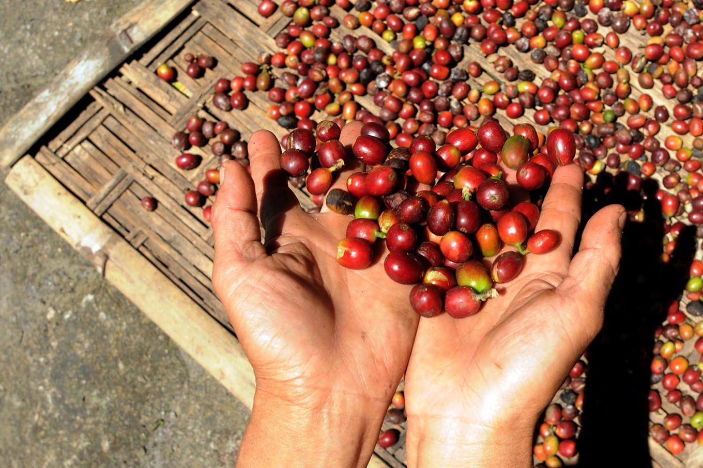 Hạn hán kéo dài gây thiệt hại lớn cho người trồng cà phê Brazil  - Ảnh 1.