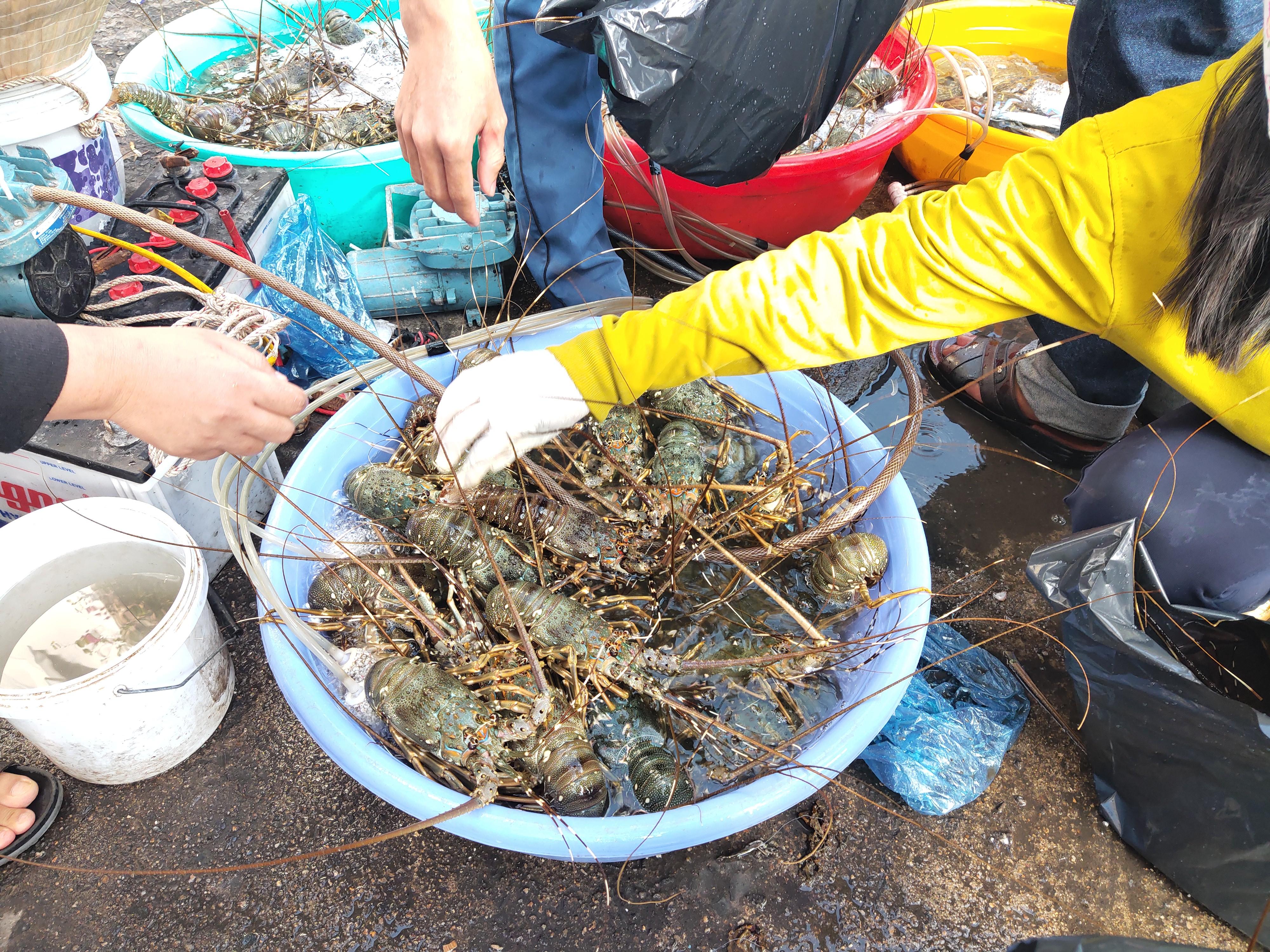 Cam Ranh: Hơn 1.000 tấn cá mú loay hoay tìm đầu ra, tôm hùm xanh bất ngờ được giá 700.000 đồng/kg - Ảnh 3.