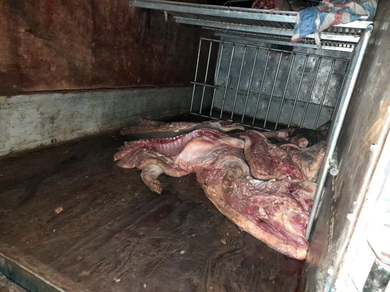 Gần 1 tấn lợn mắc dịch tả lợn châu Phi chuẩn bị đem vào thị trường tiêu thụ - Ảnh 1.