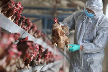 Khoanh vùngkhống chế dịch gia cầm H5N6