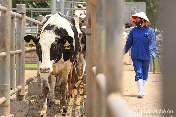 1.620 con bò sữa Mỹ nhập khẩu về Việt Nam