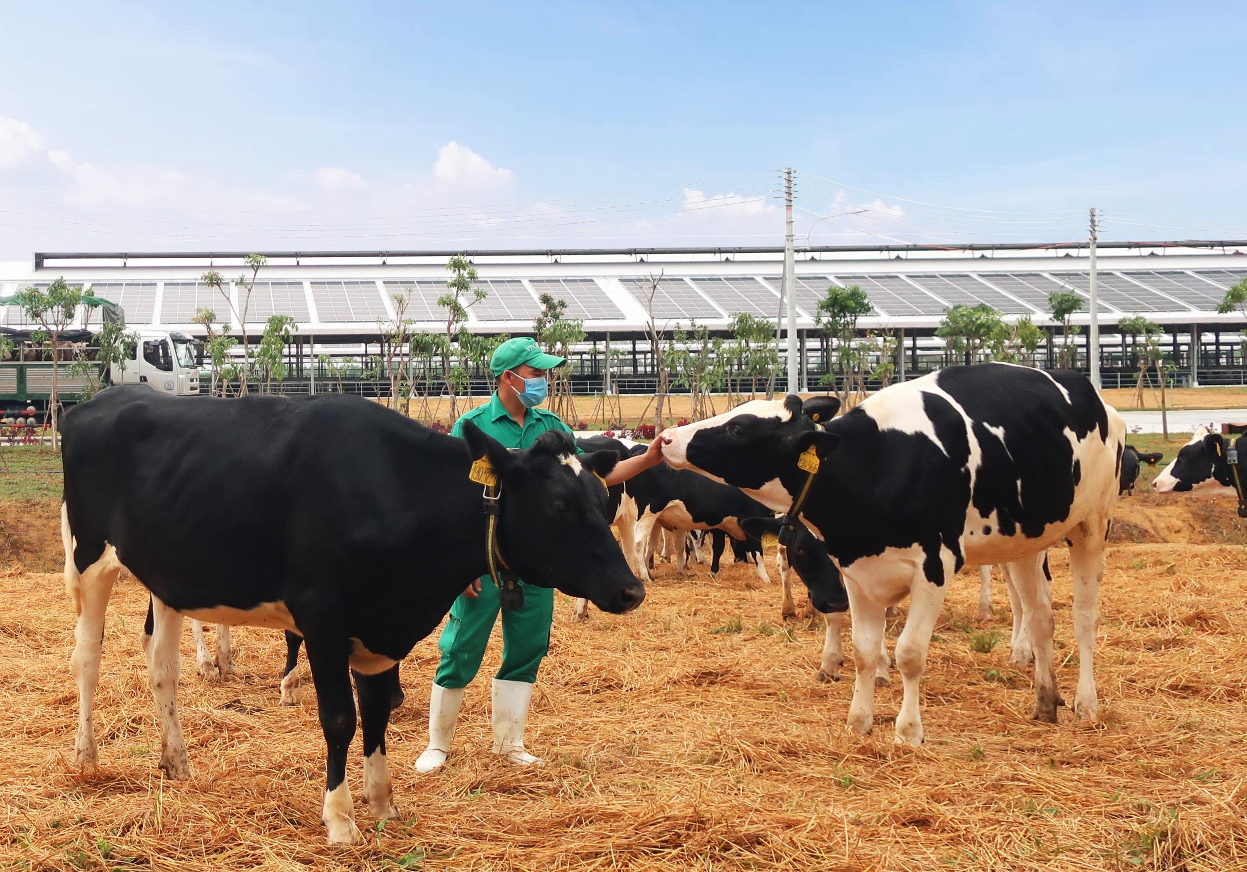 Vinamilk đón hơn 2.100 con bò sữa từ Mỹ về Quảng Ngãi - Ảnh 2.