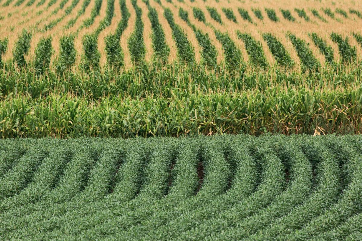 Giá đậu nành neo cao, nông dân Mỹ tranh thủ gieo trồng từng xới đất - Ảnh 2.