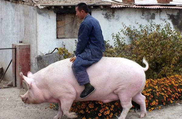 Nông dân Trung Quốc nếm trái đắng vì nhân giống heo 'siêu to khổng lồ' - Ảnh 1.