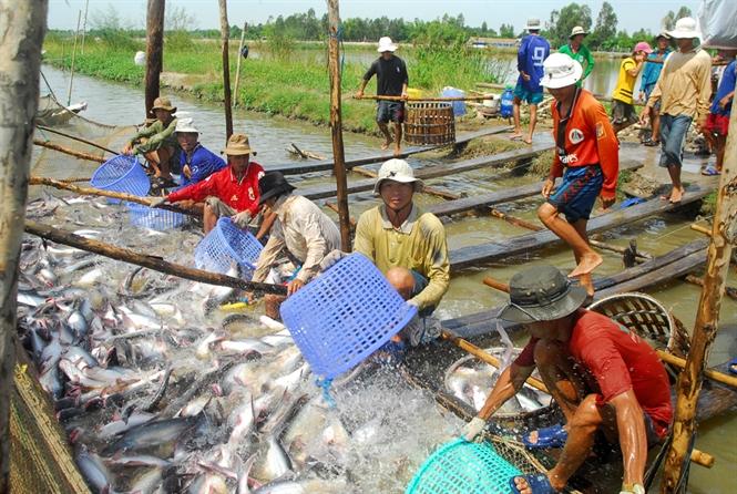 Lật ngược tình thế thiếu hụt cá tra bằng thẻ xanh cho công đoàn thu hoạch, thả giống - Ảnh 2.