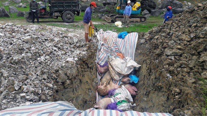 Thanh Hóa: Mỗi ngày tiêu hủy 2.500 - 3.000 con lợn nhiễm dịch tả lợn châu Phi - Ảnh 1.