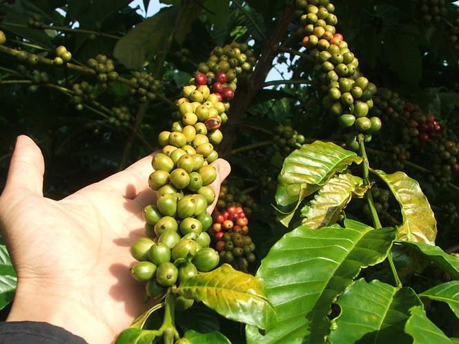 Tìm giải pháp hỗ trợ ngành cà phê - Ảnh 2.