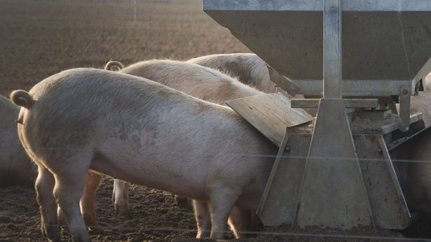 210717-pigs-feeding-at-a-trough-c-Eco-Images-UIG-REX-Shutterstock-rexfeatures_3816033a-615x346