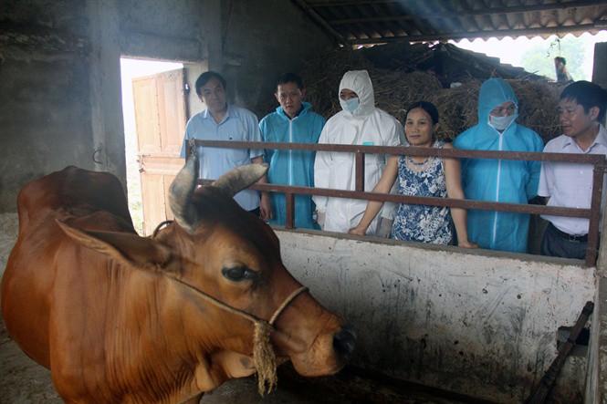 Dịch tả lợn Châu Phi tái bùng phát tại Thanh Hóa: Nhiều địa phương lơ là phòng chống dịch - Ảnh 3.