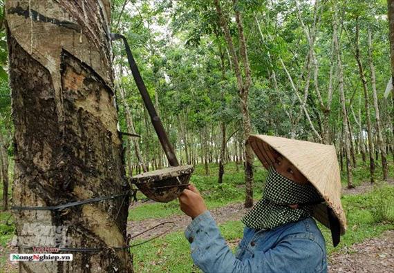 Hà Tĩnh: Xuất khẩu mủ cao su khó đi chính ngạch - Ảnh 4.