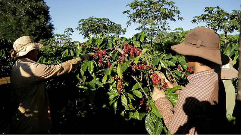 Cà phê Việt Nam: Làm sao đạt mục tiêu xuất khẩu 6 tỉ USD? - Ảnh 1.