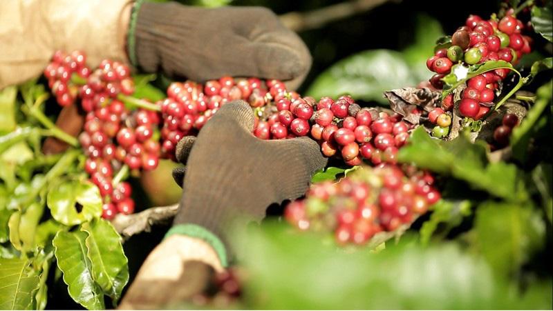 Cà phê Việt Nam: Làm sao đạt mục tiêu xuất khẩu 6 tỉ USD? - Ảnh 2.