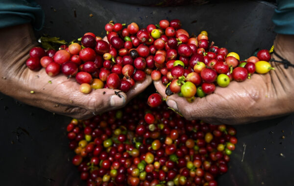 Closup-fresh-picked-coffee-beans-600x379