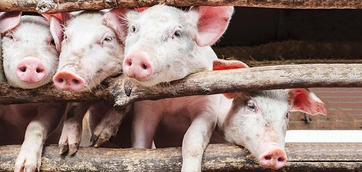 animals-pigs-pen-735-350-2