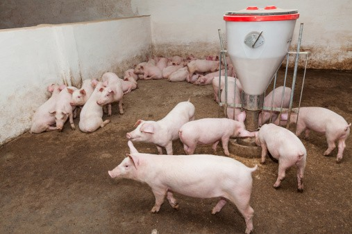 Germany-s-Toennies-to-invest-300m-in-Serbia-s-pig-industry