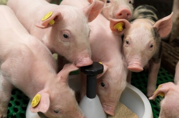 know-what-your-pigs-eat