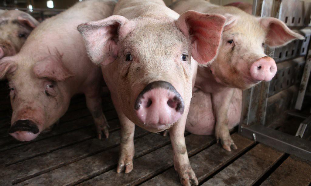 PIGS-1-jumbo