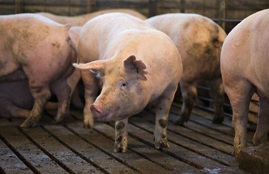 Pigs-540x350