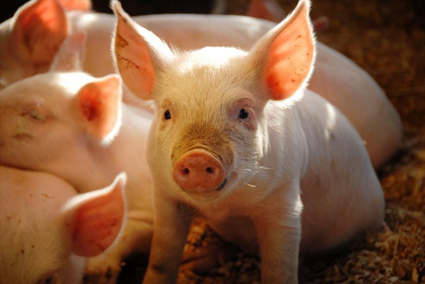 Giá heo hơi hôm nay 13/2: Biến động trái chiều, dù công ty chăn nuôi heo lớn giảm 1.000 - 2.000 đồng/kg  - Ảnh 1.