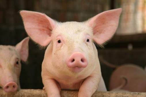 Substantial-pig-and-pork-processing-project-planned-for-China_wrbm_large