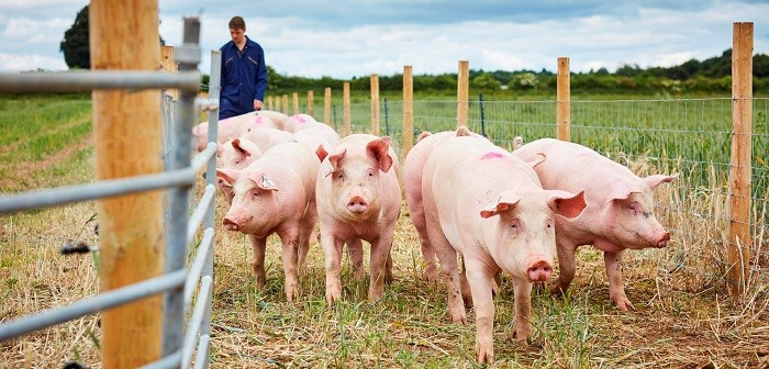 University-of-Leeds-pig-farm2-700x336