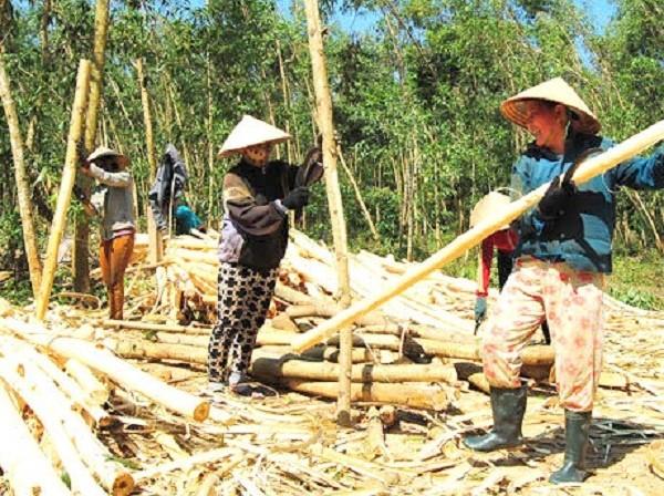Gỗ keo tăng giá mạnh, người trồng rừng vui hơn tết - Ảnh 1.