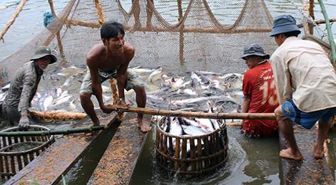 Không tăng diện tích nuôi cá tra vượt kiểm soát - Ảnh 1.