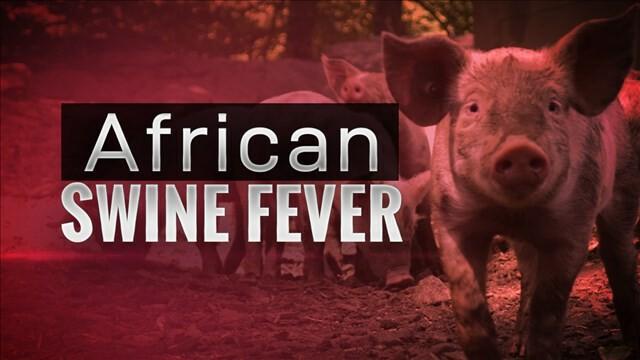 Dịch tả heo châu Phi (ASF) bùng phát tại Nam Phi - Ảnh 1.