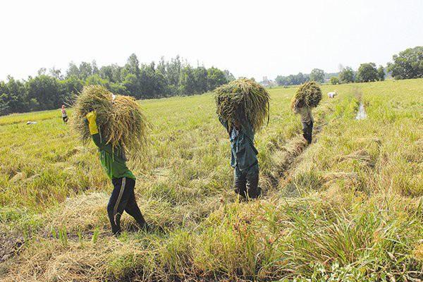 Sản xuất lúa ở ĐBSCL lạc đường từ lúc nào? - Ảnh 1.