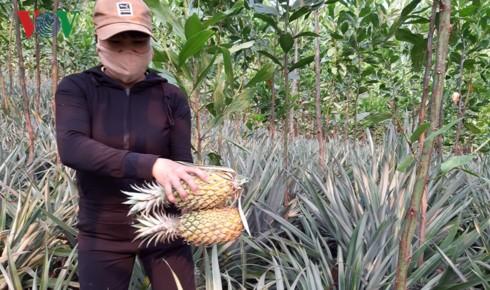 Dứa rớt giá, người dân Quảng Nam loay hoay tìm đầu ra - Ảnh 1.