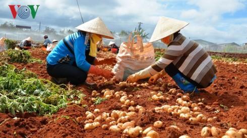 Lâm Đồng dán tem chống giả cho hơn 1.500 tấn khoai tây Đà Lạt - Ảnh 1.
