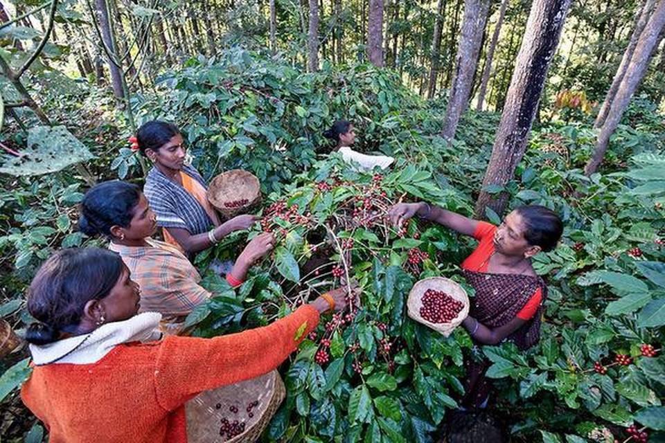 Ấn Độ khởi động chiến dịch tiêu thụ cà phê cứu người nông dân - Ảnh 1.