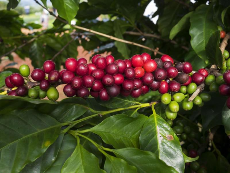 Uganda và Việt Nam hợp tác tăng sản lượng cà phê - Ảnh 1.