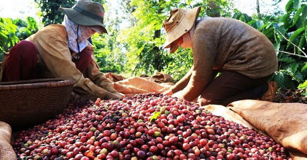 Xuất khẩu cà phê của Việt Nam trong tháng 4 có thể giảm còn 2 triệu bao - Ảnh 1.