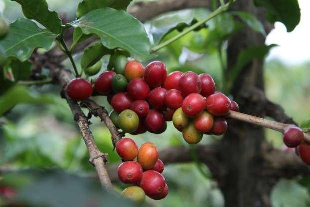 Doanh thu ngành cà phê của Kenya giảm kỉ lục 23% - Ảnh 1.