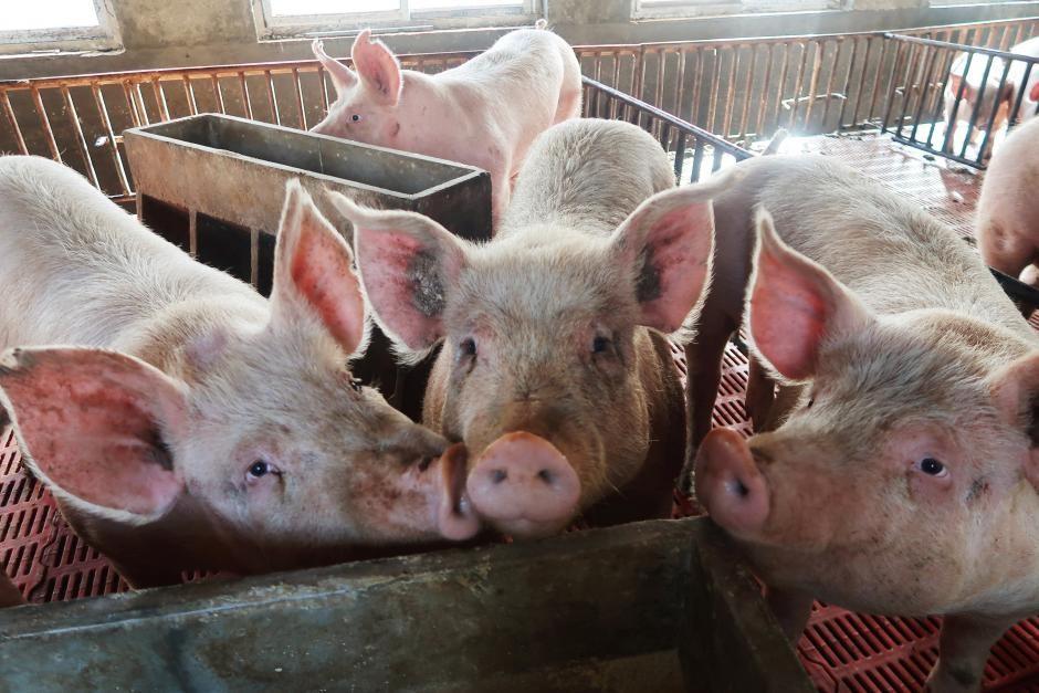Hơn 123.000 con heo tại Hưng Yên bị nhiễm dịch tả heo châu Phi - Ảnh 1.