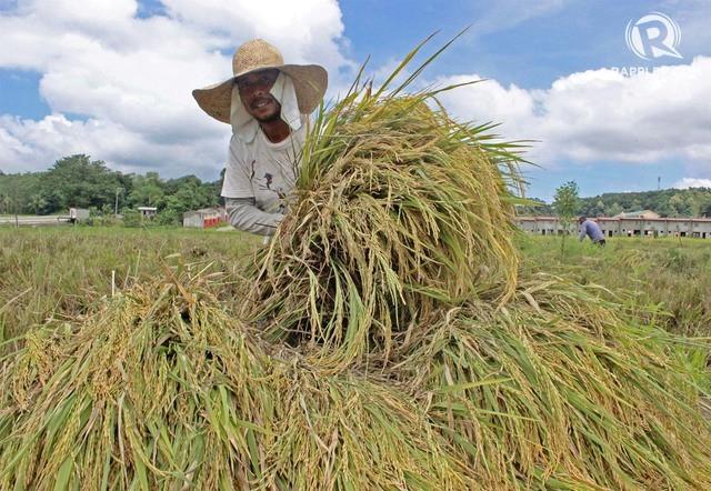 Dự trữ gạo Philippines đạt 2,63 triệu tấn trong tháng 4 - Ảnh 1.