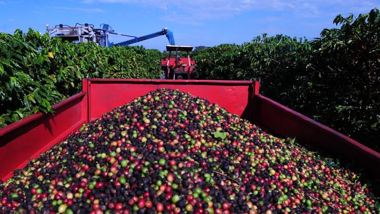 Người trồng cà phê Mỹ Latinh, Caribe khốn đốn trước khủng hoảng giá cà phê toàn cầu  - Ảnh 1.
